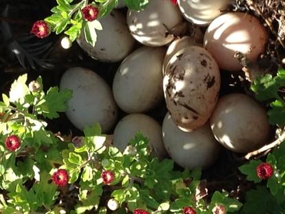 duck-eggs
