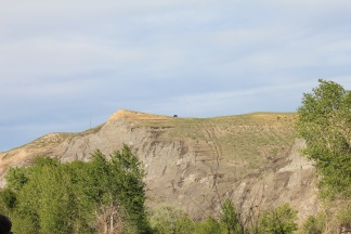 Steer grazing on hill above Yellowstone River