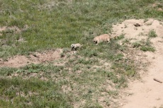 Adult and baby prairie dogs