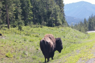 Bison by road near entrance