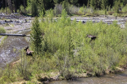 Two moose by road