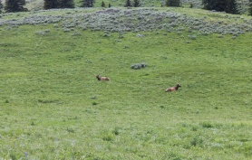Elk grazing by road