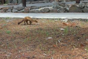Wild ferret by Old Faithful Lodge