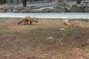 Wild ferret by Old Faithful Lodge