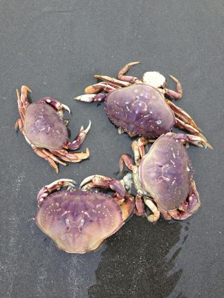 Collection of crab carcasses