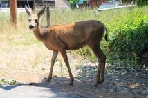 Deer in middle of road