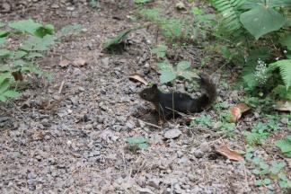 Black squirrel on trail