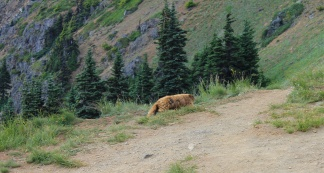 Olympic marmot on trail