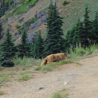 Olympic marmot on trail