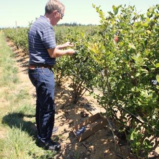 Phil picking blueberries