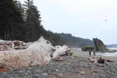 Huge driftwood along beach