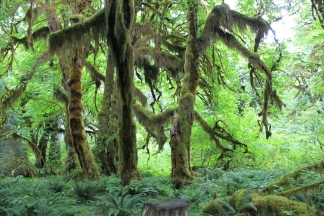 Moss-draped maple grove