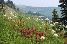 Wildflowers along Skyline Trail