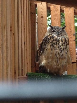 Budhi, a Barred Owl