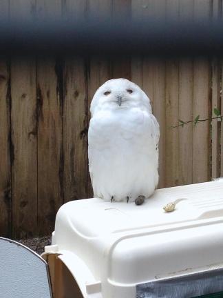 Archimedes, a Snowy Owl