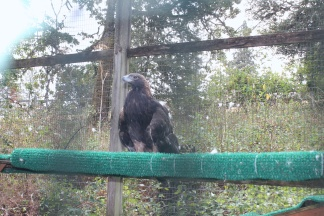 Amazon, a Golden Eagle