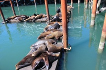 Sea lions galore