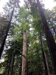 Redwoods in Lady Bird Johnson Grove
