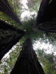 Redwoods in Lady Bird Johnson Grove