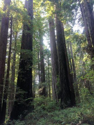 Redwoods along Trillium Falls Trail