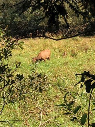 Wild elk grazing at Elk Meadow