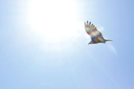 Iridescent hawk