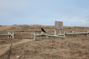 Large crow checking directions to Bodega Bay