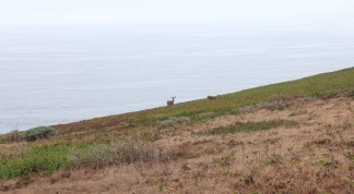 3 deer grazing on banks above Pacific