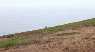 3 deer grazing on banks above Pacific