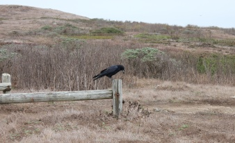 Crow dining on a mouse