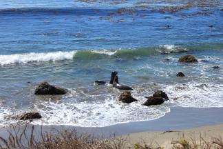 Elephant seals at play