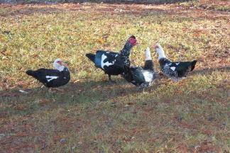 Jan's duck friends
