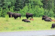 Herd of Wood Bison