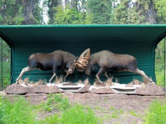 Two bull moose that died with antlers locked