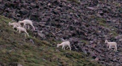 Dall sheep on hillside