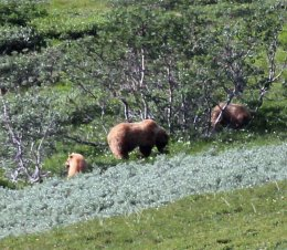 Another grizzly sow and cubs