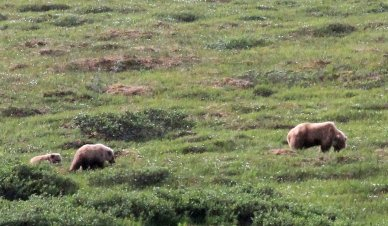 More grizzlies