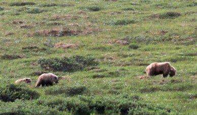 More grizzlies