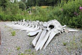 Grey whale bones