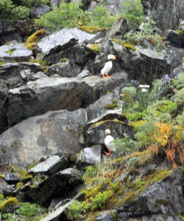 Puffins on rocks