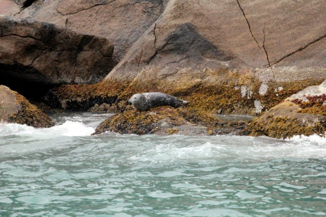 Harbor sealalong rocks