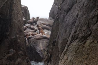 Steller sea lions on rocks