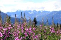 Alaska wildflowers along the Glenn Highway