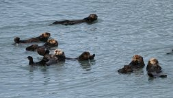 Sea otters in bay