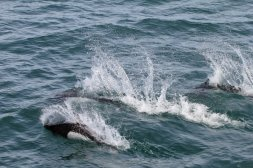 Dall porpoises swimming alongside boat