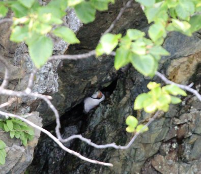 Puffin in cave nest