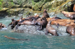 Sea lions playing
