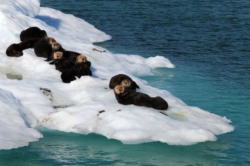 Sea otters on iceberg