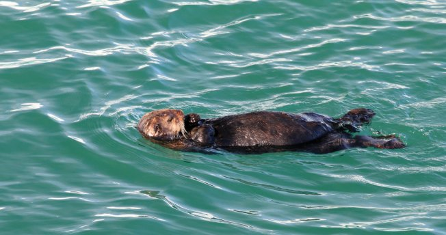 Sea otter relaxing at sea