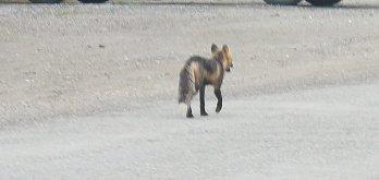 Arctic fox on road